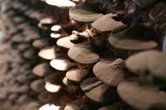 Cultivo do cogumelo de Lingzhi do close-up, medicina chinesa, chinesa imagem de stock royalty free