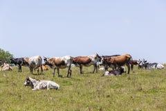 Cultivo do gado Foto de Stock