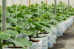Cultivo do pepino na estufa Fotos de Stock Royalty Free