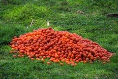 Cultivo do tomate na Índia imagens de stock