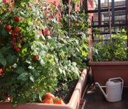 Cultivo do tomate nos vasos de um jardim urbano no terrac Imagens de Stock