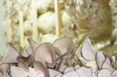 Cultivo dos cogumelos de ostra imagem de stock royalty free