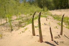 Cultivo dos espargos Imagem de Stock