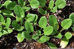 Cultivo dos espinafres foto de stock royalty free