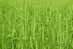 Cultivo e cultivo do trigo imagens de stock