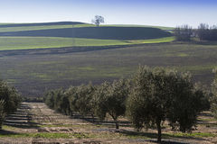 Cultivo ecológico das oliveiras Fotografia de Stock Royalty Free