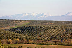 Cultivo ecológico das oliveiras na província de Jae'n Foto de Stock