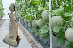 Cultivo elegante de Iot, agricultura en la industria 4 0 conceptos de la tecnología, robot de la tendencia usando en granja para  imagen de archivo libre de regalías