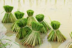 Cultivo em Tailândia Fotografia de Stock