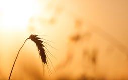 Cultivo en campo de trigo en una puesta del sol de oro Fotos de archivo libres de regalías