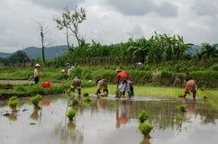 Cultivo en campos de arroz de arroz Fotografía de archivo libre de regalías
