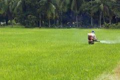 Cultivo en el campo de arroz Imágenes de archivo libres de regalías