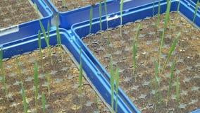Cultivo experimental del invernadero tecnológico para la investigación científica del vulgare del Hordeum de la cebada y del t almacen de metraje de vídeo
