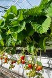Cultivo hidropônico da morango do fim Fotografia de Stock Royalty Free