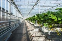 Cultivo hidropônico da morango em uma estufa Imagens de Stock