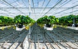 Cultivo hidropônico da morango em uma estufa Fotografia de Stock