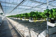 Cultivo hidropônico da morango em uma estufa Fotos de Stock