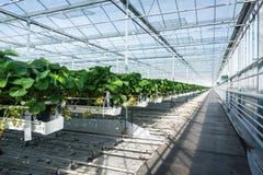 Cultivo hidropônico da morango em uma grande estufa Fotografia de Stock
