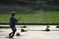 Cultivo indio del granjero del arroz Imagen de archivo libre de regalías
