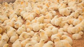 Cultivo industrial das galinhas para a carne imagem de stock royalty free