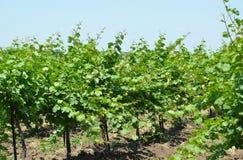 Cultivo industrial das uvas Imagem de Stock Royalty Free