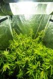 Cultivo interior de la marijuana - la marijuana crece la caja foto de archivo libre de regalías