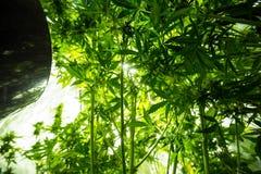 Cultivo interior de la marijuana - la marijuana crece la caja fotos de archivo libres de regalías