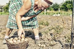Cultivo, jardinando, agricultura, pessoas idosas, fêmea, fazendeiro, batatas, jardim da exploração agrícola fotos de stock