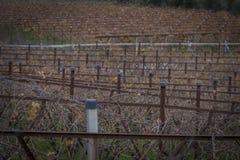 Cultivo linear do vinhedo Imagens de Stock Royalty Free