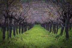 Cultivo linear do vinhedo Imagens de Stock