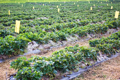 Cultivo orgánico de la fresa Foto de archivo libre de regalías