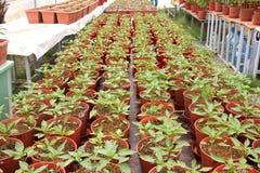 Cultivo orgánico de la pimienta Imágenes de archivo libres de regalías