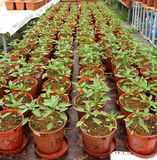 Cultivo orgánico de la pimienta Fotografía de archivo