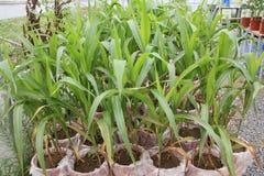 Cultivo orgânico da estufa do milho fotografia de stock royalty free