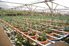 Cultivo orgânico das morangos Imagens de Stock