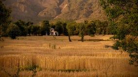 Cultivo orgânico india do trigo dourado imagens de stock royalty free
