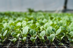 Cultivo orgânico, plântulas que crescem na estufa Imagem de Stock Royalty Free