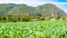 Cultivo Pinar del Rio do cigarro Imagem de Stock