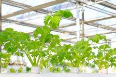 Cultivo Soilless do aipo em um jardim botânico Fotos de Stock Royalty Free