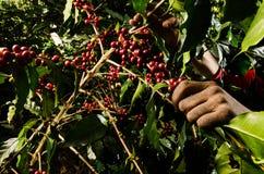 Cultivo tradicional del café Imagen de archivo libre de regalías