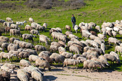 Cultivo tradicional - Shepherd con su manada de las ovejas Foto de archivo