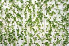 Cultivo vegetal da estufa sem solo Fotos de Stock