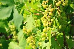 Cultivo verde das uvas Fotos de Stock Royalty Free