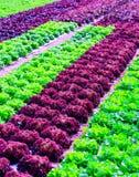Cultivo verde orgánico de las plantas de la lechuga o de la verdura de ensalada en r foto de archivo libre de regalías