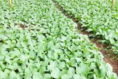 Cultivo vergetable da estufa orgânica em Cameron Highlands, Malásia fotografia de stock royalty free