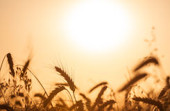 Cultivos en campo de trigo en una puesta del sol de oro Imágenes de archivo libres de regalías