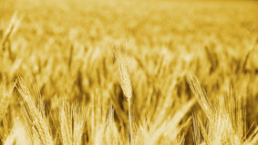 Cultivos grandes de maíz de campo del trigo de oro Imágenes de archivo libres de regalías