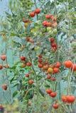 Cultura crescente, tomates fotografia de stock