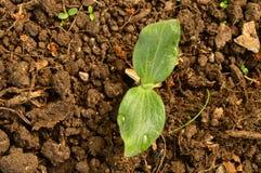 Cultura da abóbora vegetal do tiro da plântula Fotografia de Stock Royalty Free