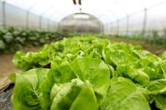 Cultura da salada orgânica nas estufas imagem de stock royalty free